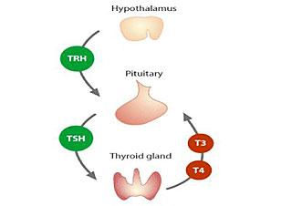 Hypothalamus Pituitary Thyroid Hormone Pathway
